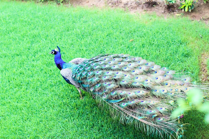 peacocks dancing