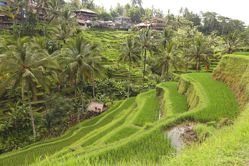 Rice Terraces. Anyone else thinking of 'Eat Pray Love?' :)