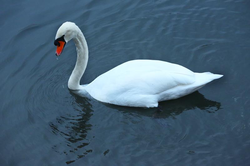 the elegant swan!