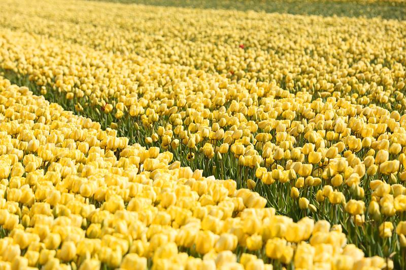 keukenhof-gardens-amsterdam-tulips