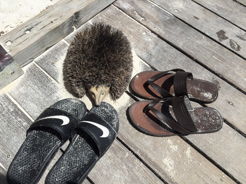 these cutie hedgehogs take care of the sand on your feet