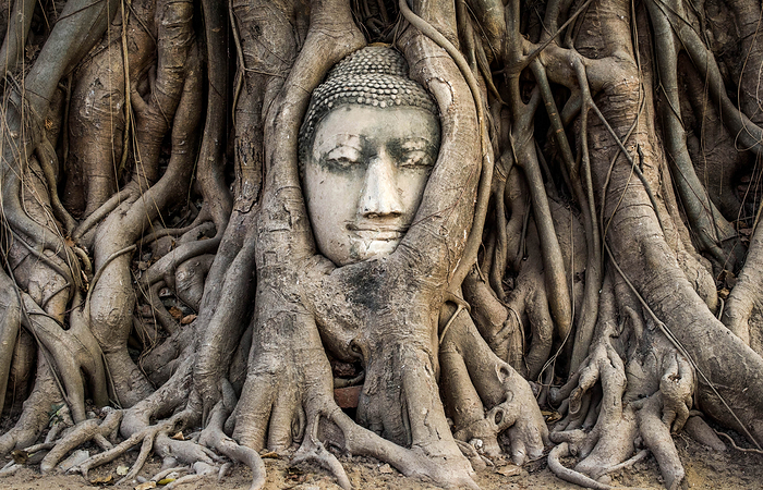 Head of Buddha statue in the tree roots at Wat Mahathat
